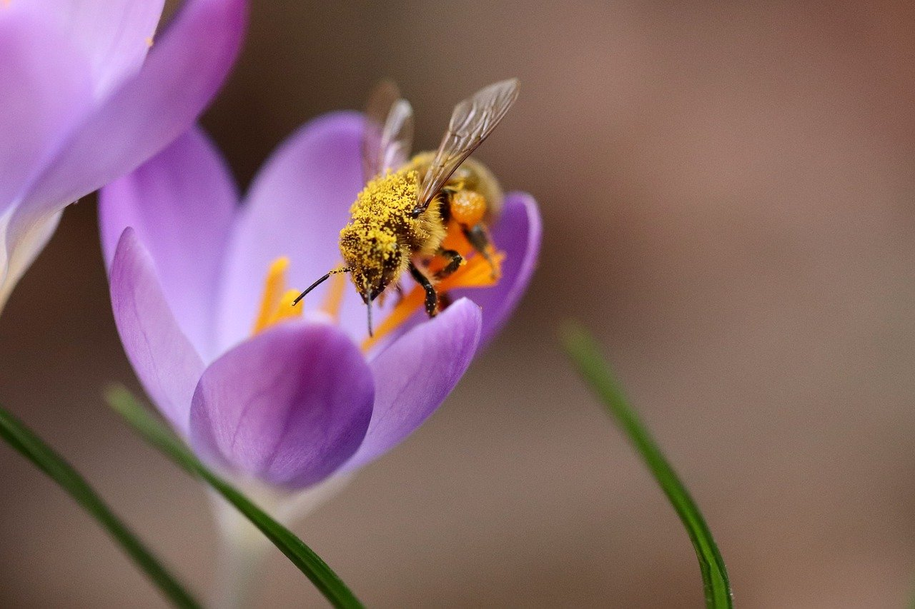 crocus, bee, insect